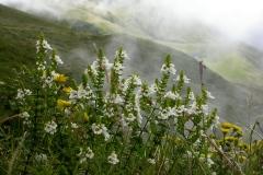 Euphrasia-azorica