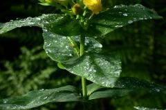 Hypericum-foliosum