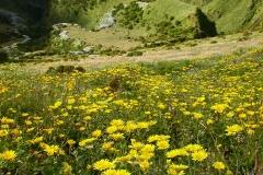 Tolpis-succulenta